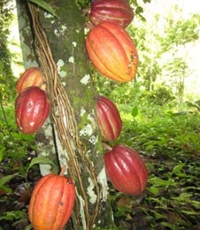 Willies chocolate cacao tree